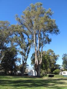 Eucalyptus Mare Island